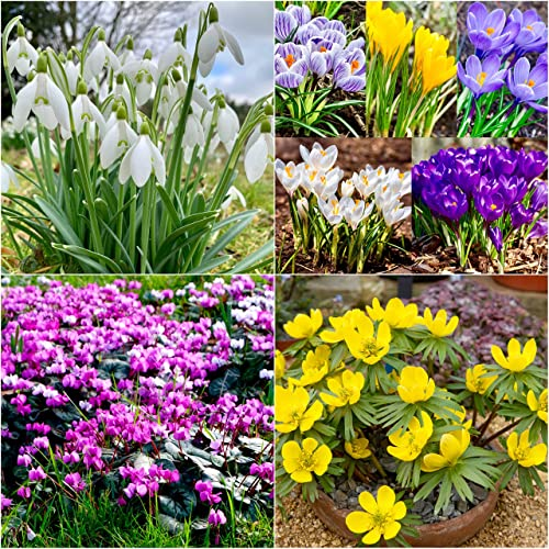GreenBrokers Bees /& Wild Flower Bulbs Multi-Coloured